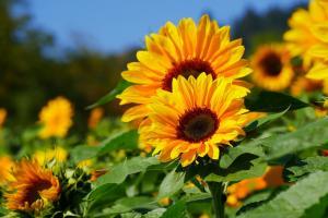 sunflower-4226870_1280.jpg